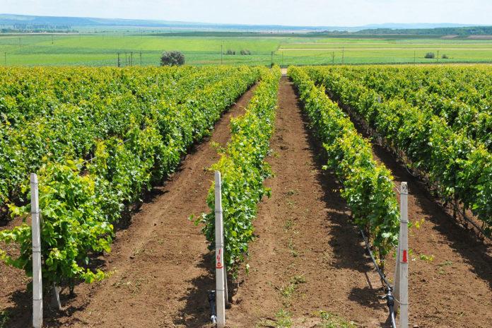 Procurorii DNA spun că infracţiunile au fost comise de italian cu ocazia restructurării unei plantații viticole.