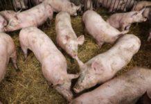 Gorj/ Numărul cazurilor de pestă porcină africană a ajuns la 24