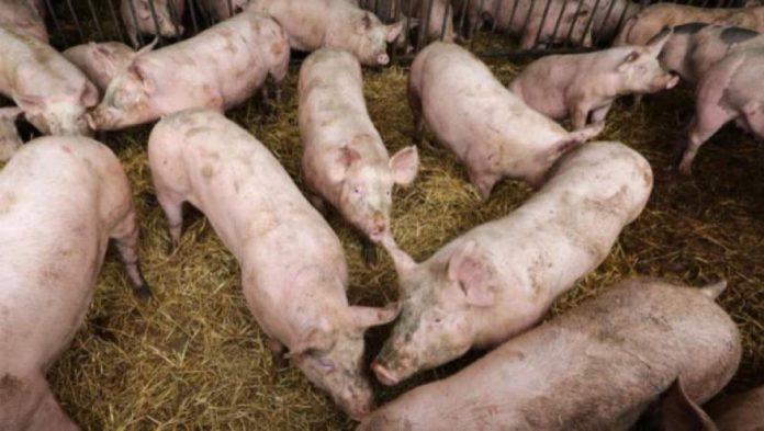 DSVSA Olt anunță ridicarea mai multor restricții impuse de evoluția pestei porcine africane