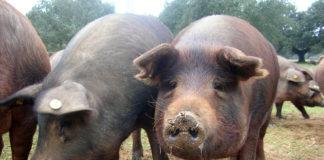 Animalele bolnave sunt sacrificate, iar carnea e distrusă