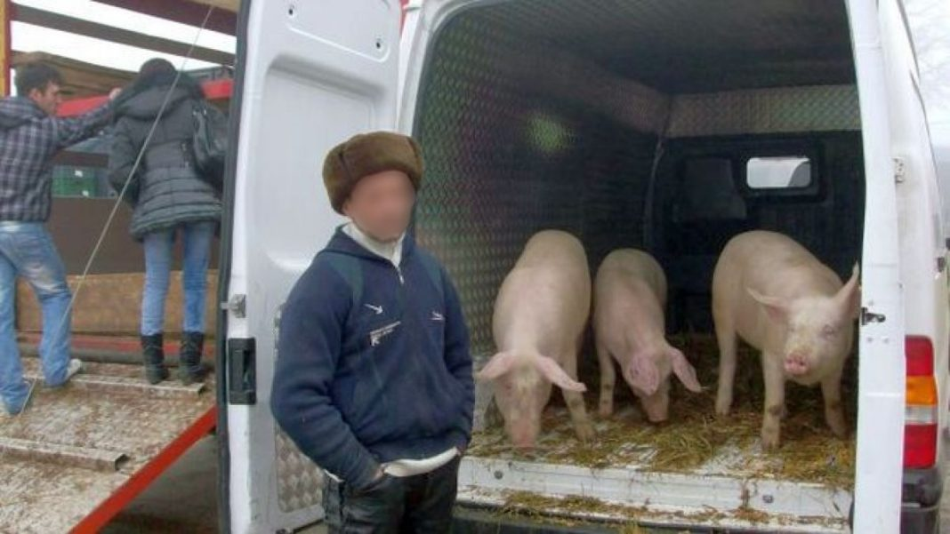 Prins în timp ce transporta ilegal 17 porci