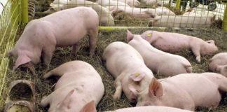 27 de focare de pestă porcină africană în Gorj