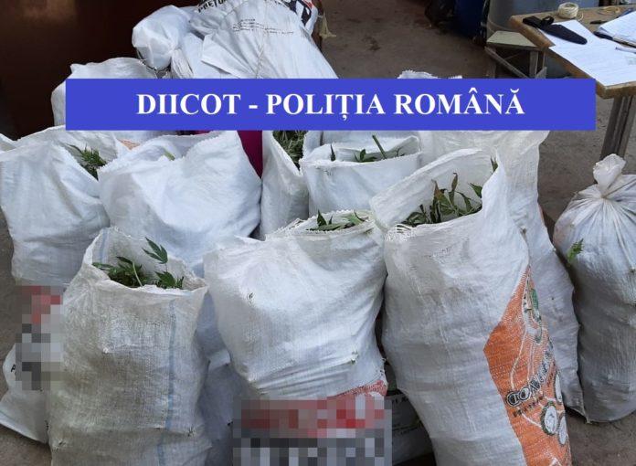 Oamenii legii au ridicat plantele de canabis descoperite în urma percheziţiilor.