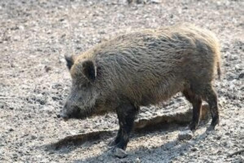 Accident rutier cauzat de un porc mistreț, produs pe DN 66, în județul Gorj