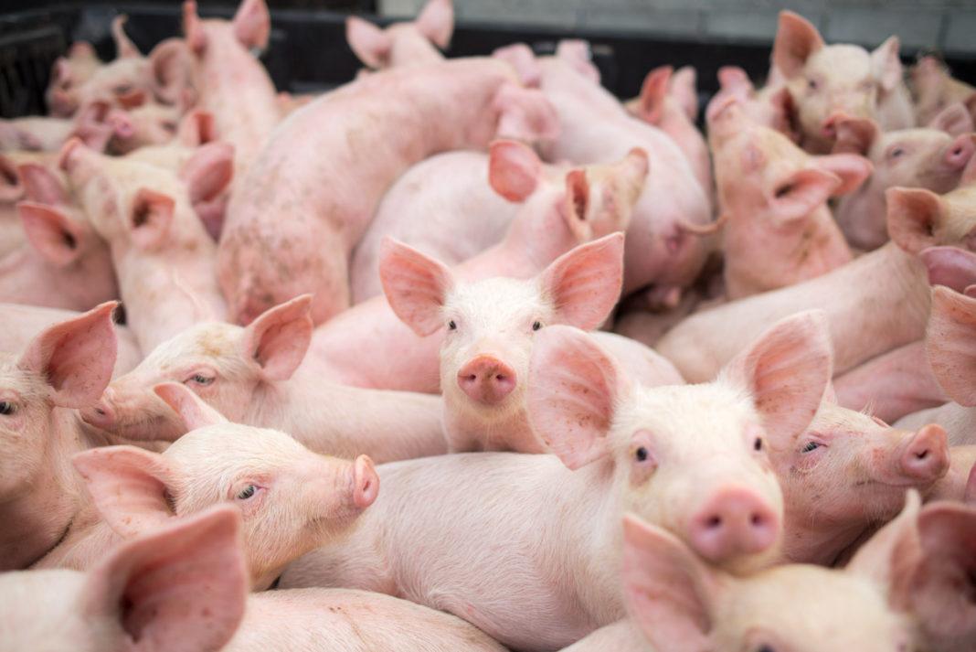 Pesta porcină africană evoluează în prezent în 150 de localități din 24 de județe, cu un număr de 272 de focare