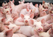 Gorj: Încă trei focare de pestă porcină africană