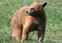 Gorj: Pui de urs, ucis într-un laț la Crasna