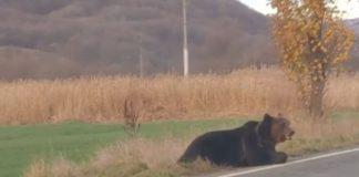 Urs ucis de o maşină, în Mureş