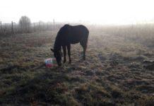 Unul dintre cai a murit, celălalt este hrănit de localnici