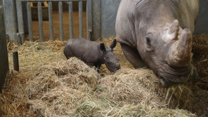 Un pui de rinocer alb s-a născut la grădina zoologică din Bruxelles