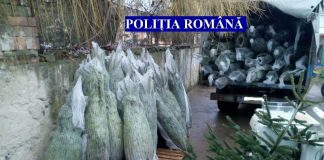 Polițiștii din Gorj au confiscat brazi îm valoare de 44.000 de lei