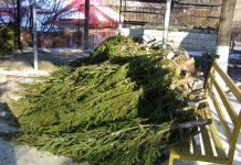 Polițiștii au confiscat zeci de brazi de Crăciun