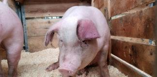 Controale în trafic, pentru prinderea celor care transportă porci ilicit