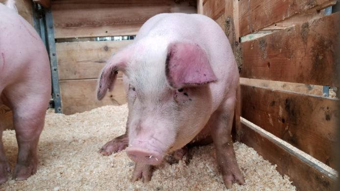 Activitatea cerebrală din creierul unui porc, refăcută la patru ore de la moarte