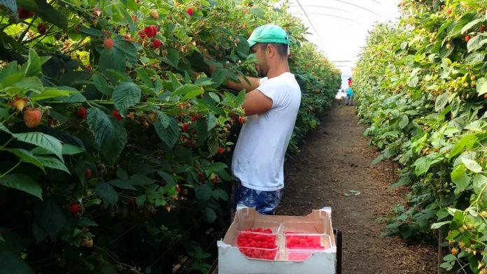 Locuri de muncă în Spania la cules fructe roșii
