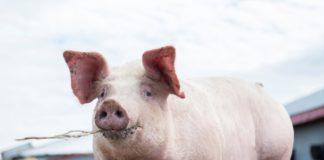 Amendat după ce şi-a tranşat porcul în spatele blocului