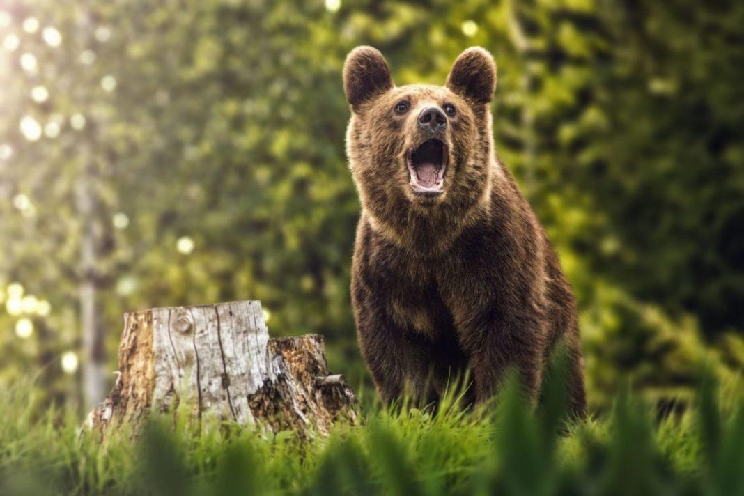 IPJ Gorj a început marți o anchetă în comuna Jupânești, unde câțiva localnici agresivi au hăituit un urs ajuns în zonă