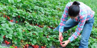 900 locuri de muncă la recoltare de fructe în Spania