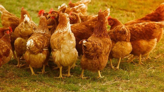 Al doilea focar de gripă avairă în Maremureș. Peste 22.000 de păsări au fost omorâte