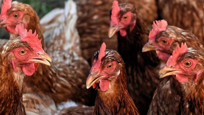 Carne din focarele de gripă aviară din Ungaria, la vânzare în Dolj şi Gorj
