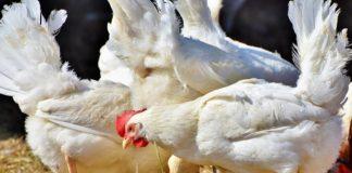 Alertă sanitară de gripă aviară