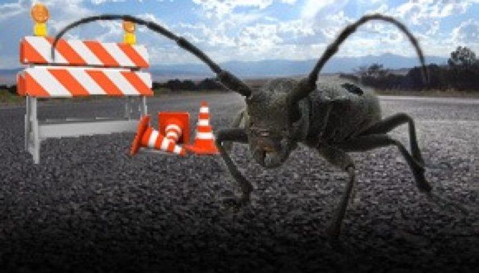 Gândacul din calea autostrăzii Sibiu Piteşti, momit cu feromoni