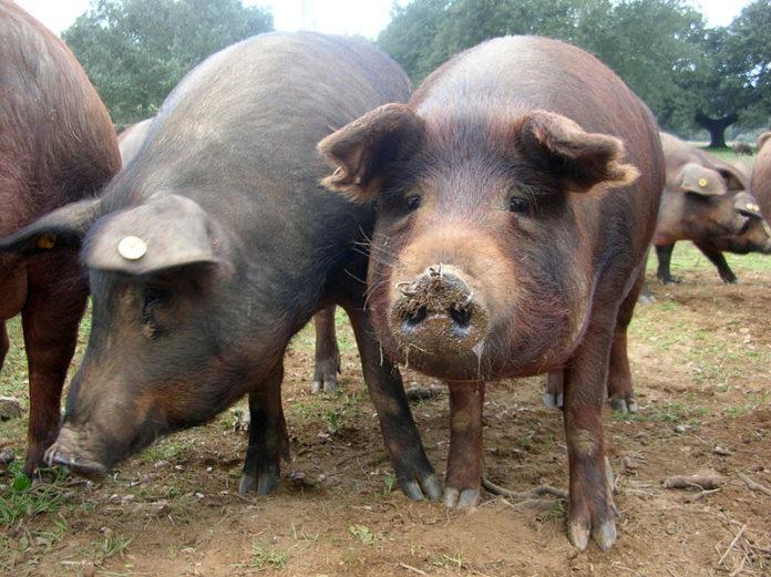 Pesta porcină a ajuns la Vișina, localitatea în care deputatul Stănescu are o fermă de porci