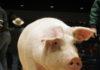 Numărul focarelor de pestă porcină africană a urcat la 611 în ultima săptămână