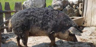 Mangaliţa este o rasă maghiară de porci domestici, dezvoltată în secolul al XIX-lea