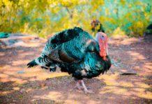 Carne de curcan din Ungaria din zone cu gripă aviară, în magazinele din Gorj