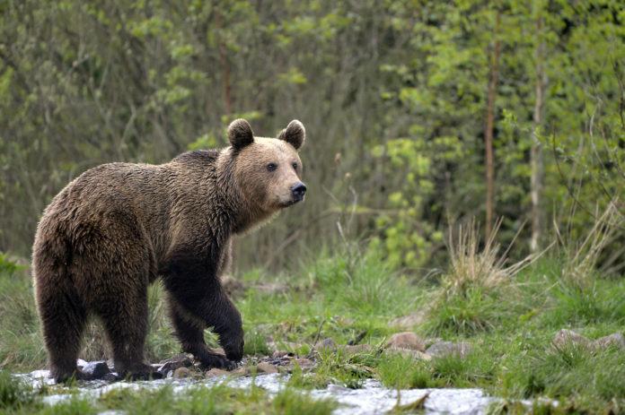 România este unul dintre cele mai bune locuri din Europa pentru a vedea mamifere mari în sălbăticie