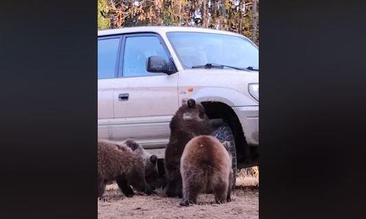 Trei pui de urs au fost filmaţi jucându-se cu roata unui maşini, în judeţul Harghita