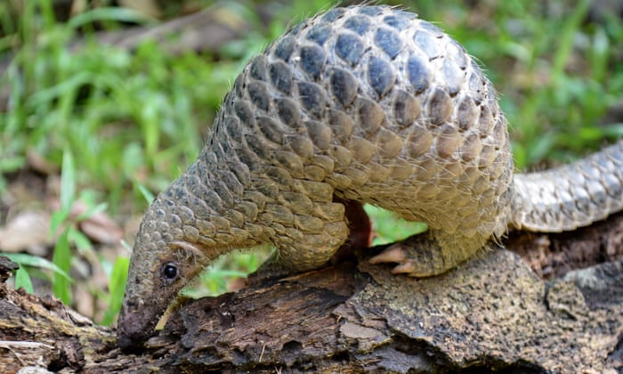 Pangolin/sursa foto: Roslan Rahman / AFP prin Getty Images