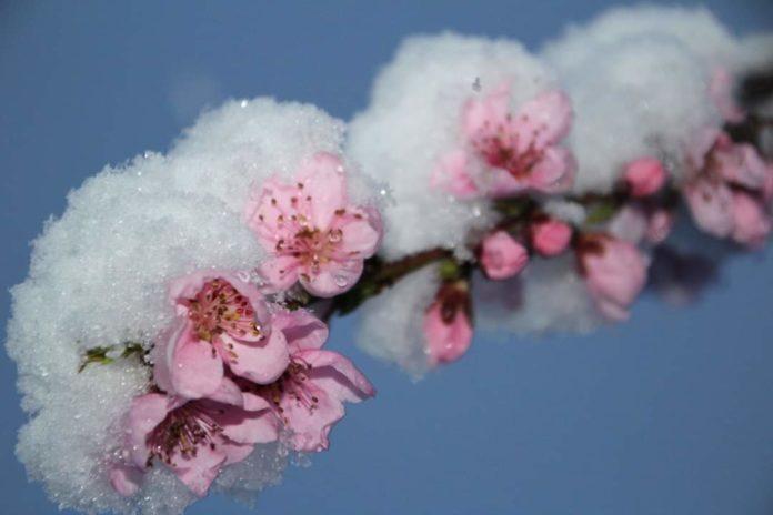flori de piersic cu zapada