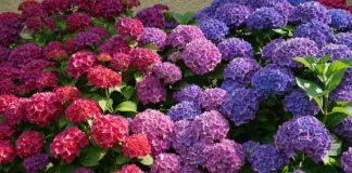 Hortensia este una dintre cele mai spectaculoase plante de grădină