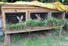 În vremea pandemiei, un tânăr de 18 ani, din Dăbuleni, este cercetat penal după ce a furat 15 iepuri din curtea unui consătean
