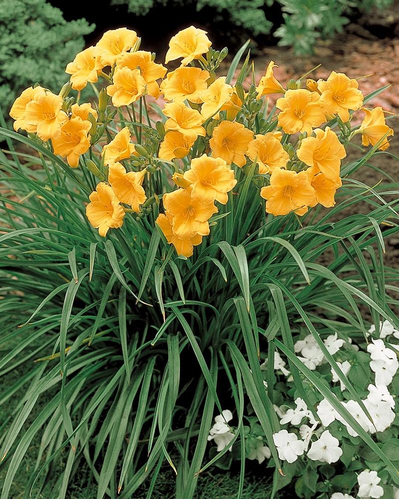 Hemerocallis, o floare frumoasă și nepretențioasă
