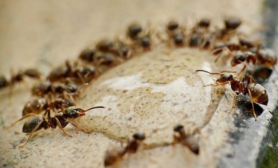 Muşuroaiele de furnici de pe locul unde Tesla va ridica o fabrică, salvate