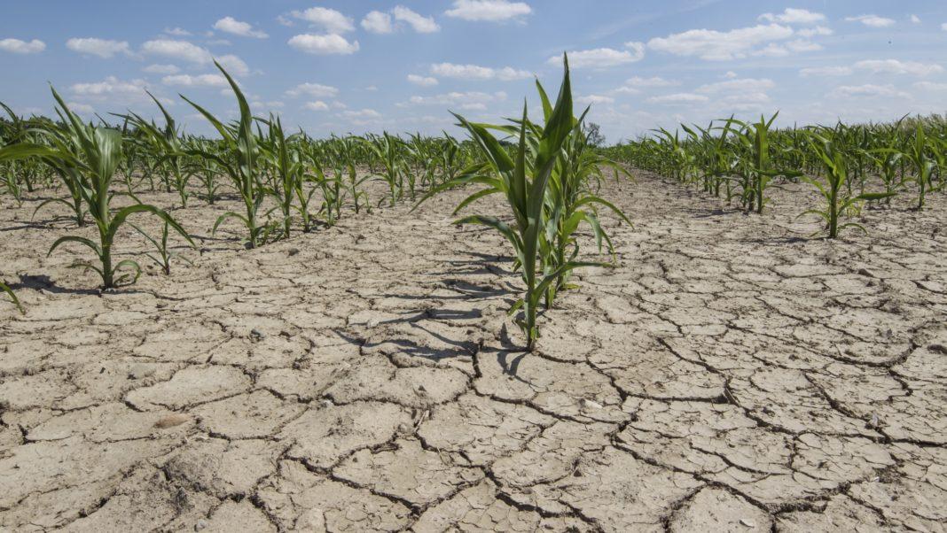Fermierii afectați de secetă vor primi despăgubiri