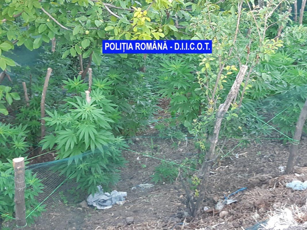 Cultura de cannabis descoperită de polițiștii mehedințeni