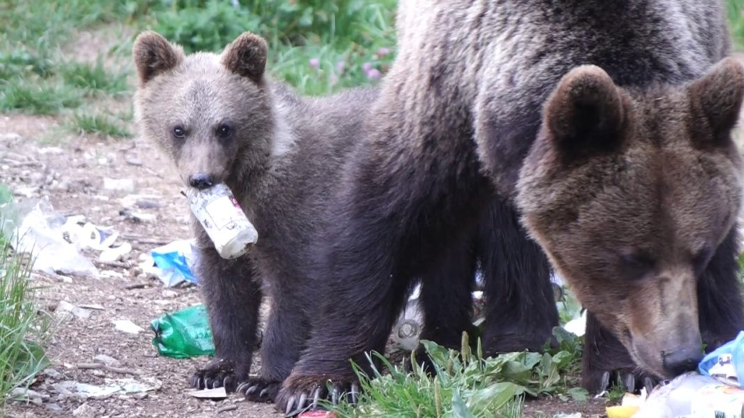 Românii care hrănesc urșii pe marginea drumului ar putea fi amendați