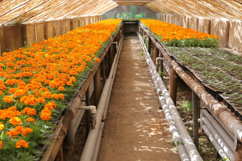 Flori crescute în serele RAADPFL Craiova