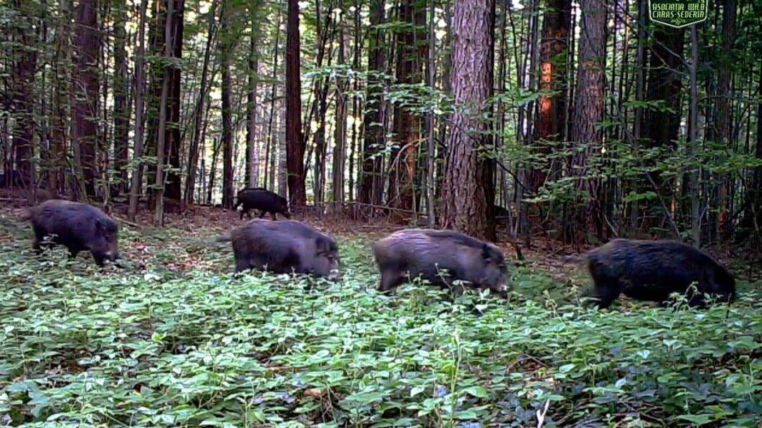 Germania ridică gard la graniţa cu Polonia pentru a împiedica răspândirea pestei porcine