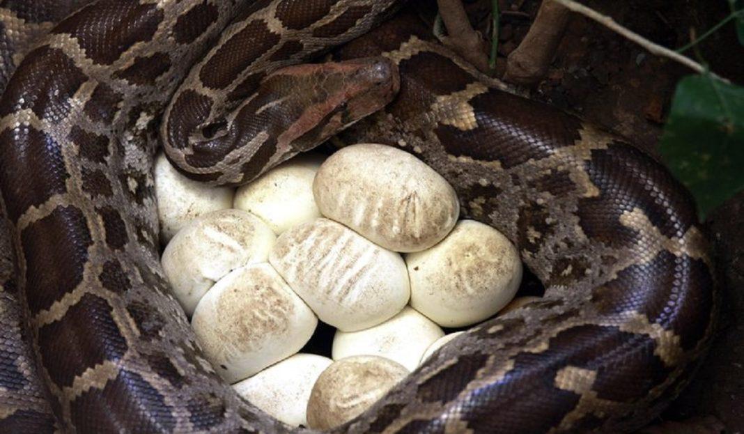 O femelă de piton a depus ouă deşi n-a mai avut contact cu un mascul de mai bine de 15 ani
