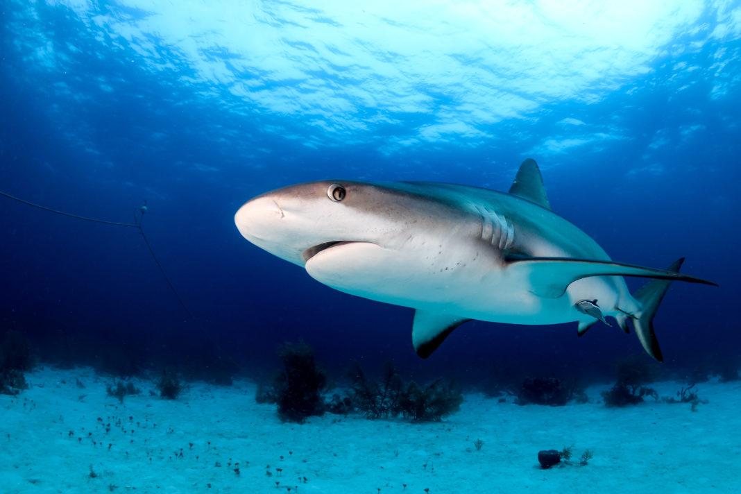 O substanță din ficatul rechinului, luată în considerare pentru a fi utilizată în vaccinurile anti-Covid