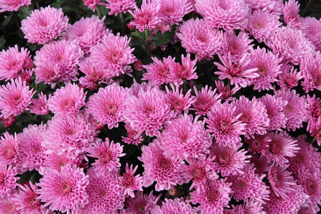 Tufănelele, cele mai îndrăgite flori de toamnă