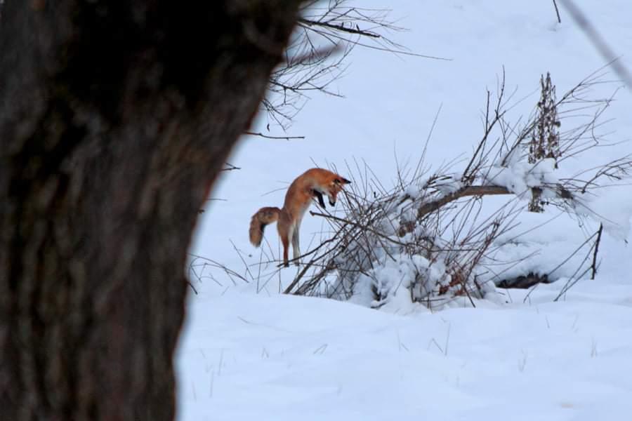 Gorj: Vulpe fotografiată într-o pădure din Runcu