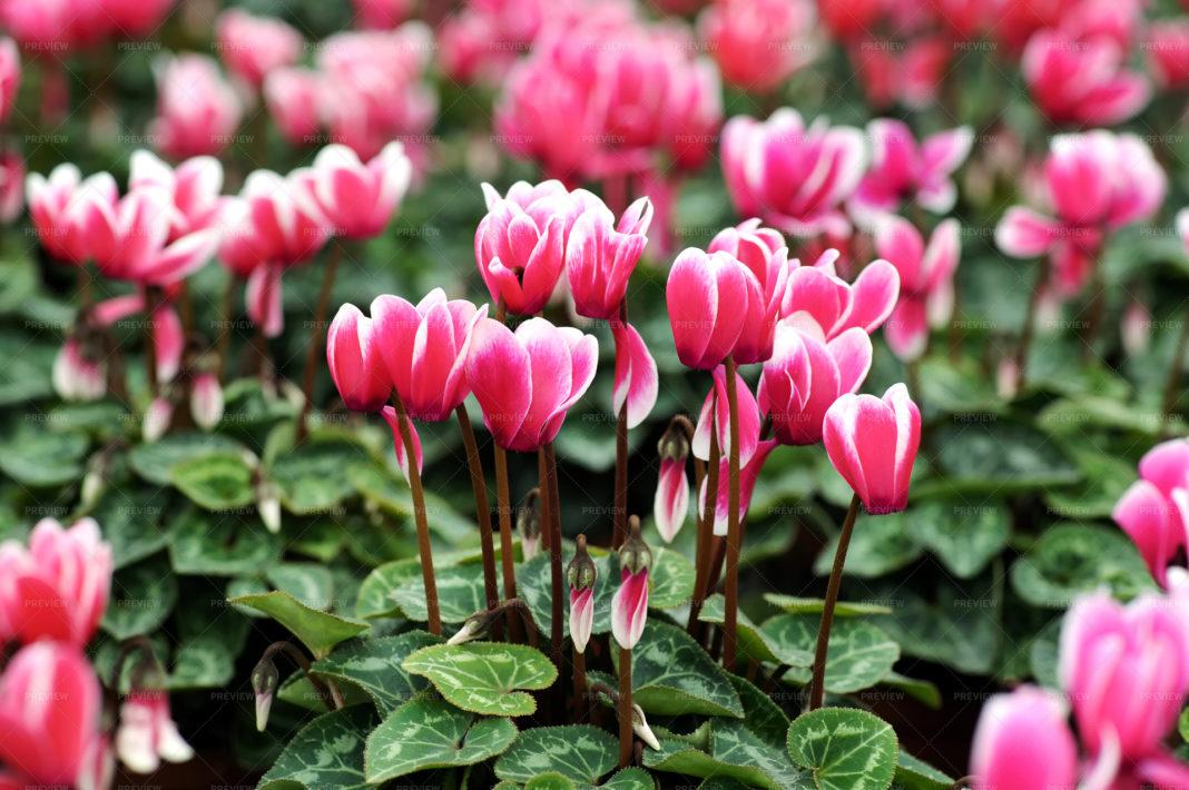 Ciclama, o floare elegantă şi delicată