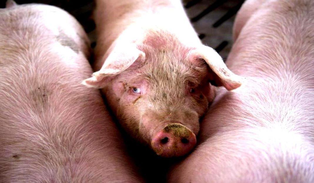Tir cu peste 600 de porci, răsturnat pe DN 17