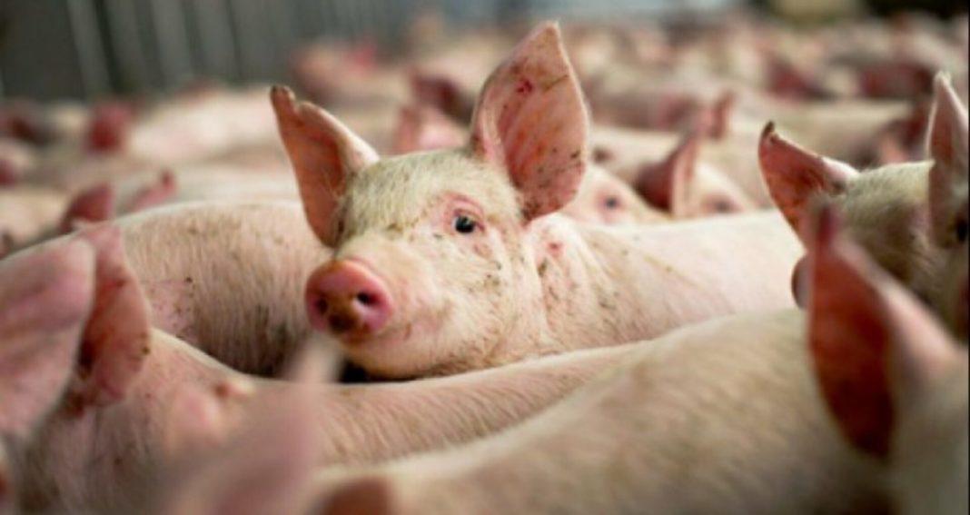 350 de focare active de pestă porcină africană, în România